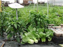 チンゲン菜 収穫