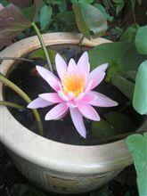 姫睡蓮が咲きました!!