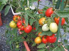トマトが大豊作!