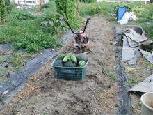 カボチャ収穫ついでに秋冬野菜 耕し第2弾