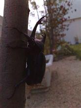 庭木にカブトムシ