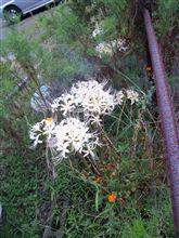 白色 久々に純白の「彼岸花」に遭遇。