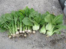 秋野菜 収穫開始