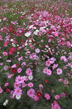 各務原の秋桜