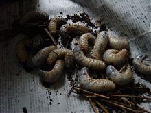 カブトムシ幼虫、土の入れ替え