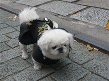 京都東山界隈にて、忍者犬! 遭遇!!