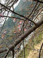 伊豆の河津へ さくら花見に行ってきました!