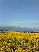 雪の比良山と早咲き菜の花