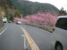 河津桜が見ごろ!