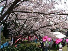 桜祭りへのお誘い
