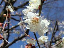 錦織公園の梅を見に行ってきました