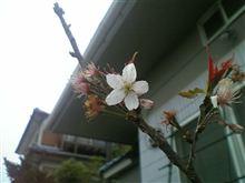 桜咲く\(^O^)/ バンザーイ