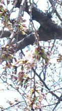 桜が咲いた~♪
