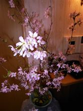 我が家の桜^^