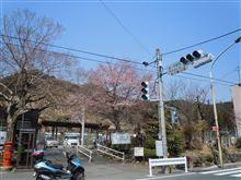 奥多摩桜三分咲き