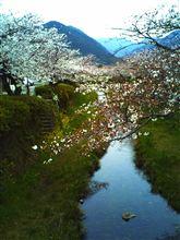 山口市^^一の坂の桜開花情報4月2日朝8時現在