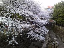桜と今日の万歩計!