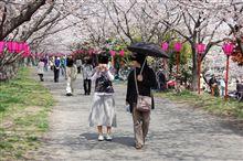 さくら満開 in 広島