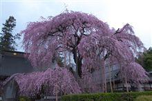 天気予報にだまされた桜ドライブ