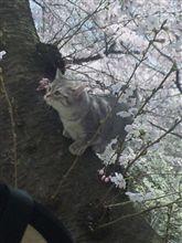 桜が見頃ですね