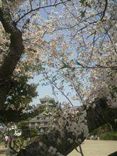 エコで桜と後楽園