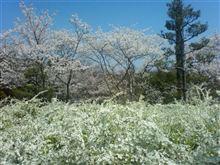 サクラとユキヤナギの花見