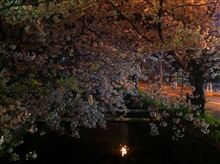 Cherry trees at evening...