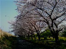 今年2回目の桜