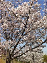 桜舞い散る中に忘れた記憶と~