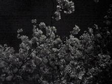 夜桜宴会と花見とゴルフ