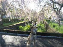 新緑の季節になりました!まだ桜も…