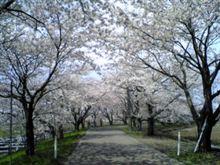 新潟市の桜スポット♪