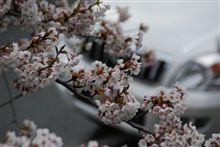 桜を眺めてきました。