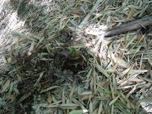 今日は山で筍掘り