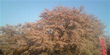 しばし、お達磨の桜へ。
