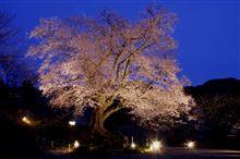 白鳥 善勝寺の桜