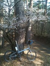 吉田口登山道の桜