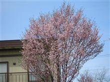旭川のさくら開花