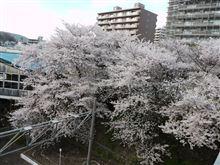 2011桜探し①