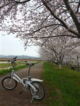 2011桜探し②
