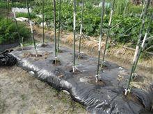 サトウキビ 植え付け