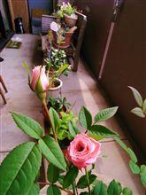 薔薇が^^綺麗に咲きました~嬉しいです