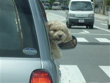 犬乗せ運転はデンジャー