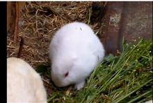 福島県で耳無しウサギが誕生?