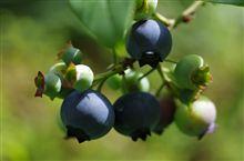 ブルーベリー、豊作の予感