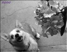 美白の紫陽花&昆虫