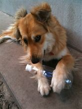 我が家のお犬様☆*:.。. o(≧▽≦)o .。.:*☆②