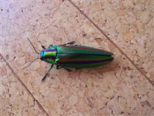 きれいなゴキブリ?