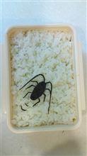 ゴキブリ弁当