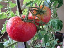 家庭菜園トマト収穫!